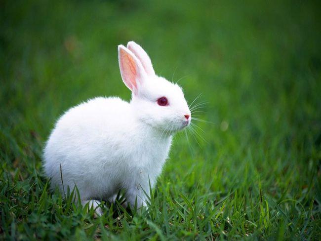 梦见两只白兔子是什么意思